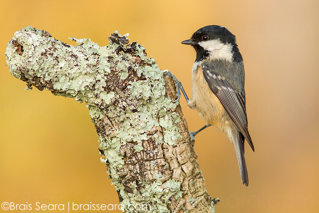 Coal tit (Periparus ater), adult perched on a branch, Galicia, Spain.