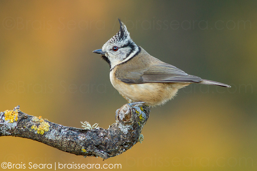 European Crested Tit (Lophophanes cristatus), perched on a branch, Galicia, Spain.