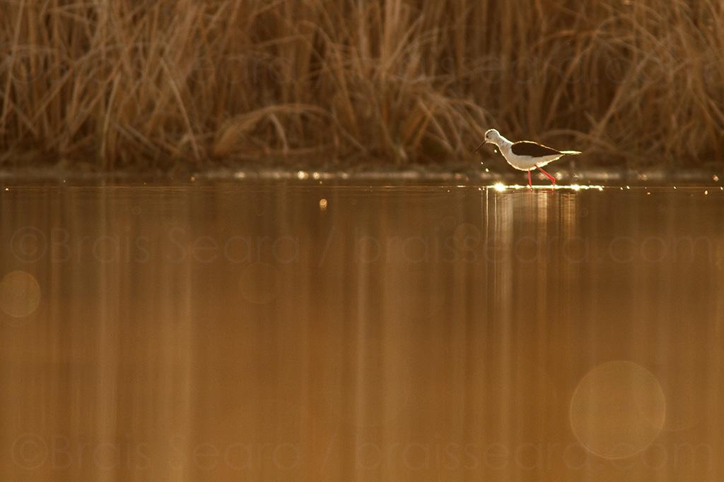Cigüeñuela comun / Black-winged Stilt (Himantopus himantopus) | ©Brais Seara