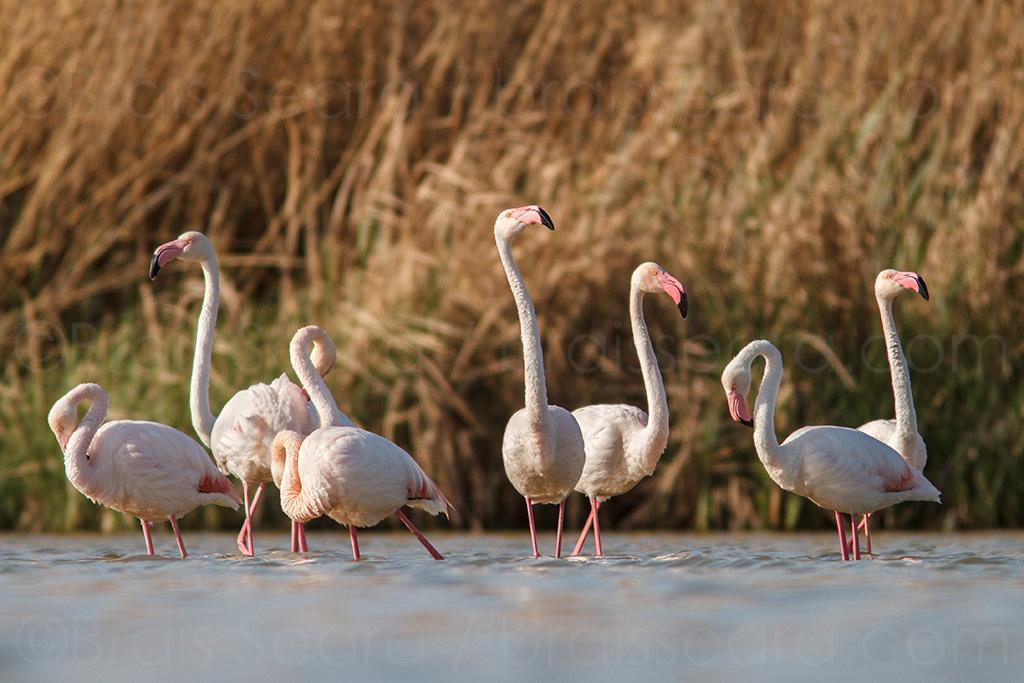 Flamenco / Greater Flamingo (phoenicopterus roseus) | ©Brais Seara