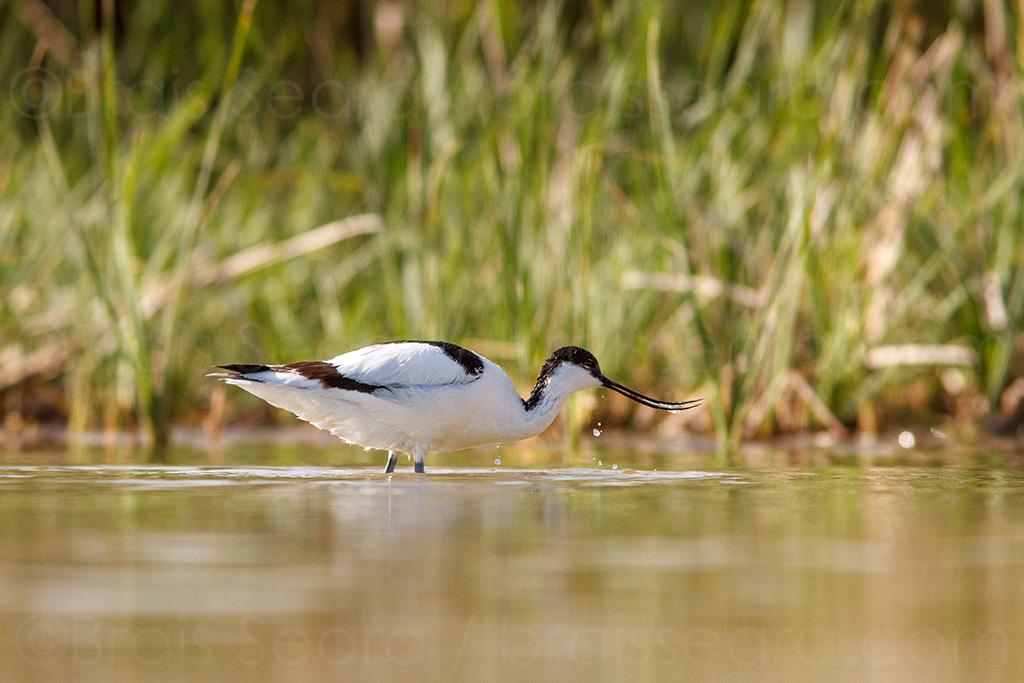 Avoceta comun / Pied Avocet (Recurvirostra avosetta) | ©Brais Seara